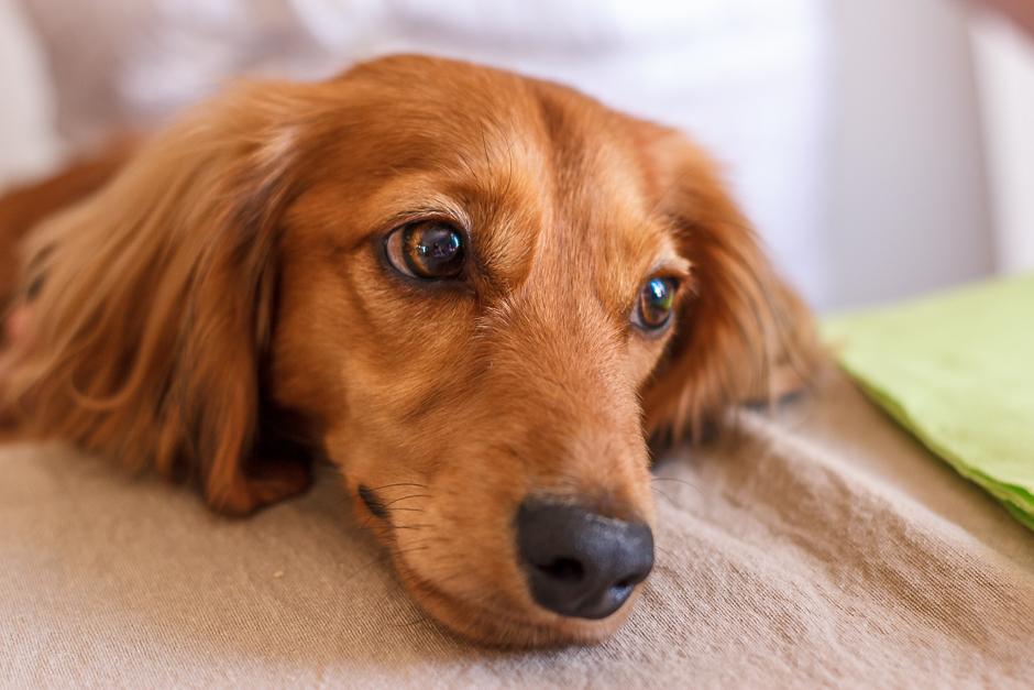 Aki nació y creció en Japón, ha vivido en Suecia y ahora está en Barcelona. Un perro viajero, sin duda.